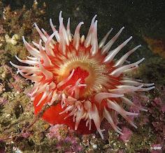 Photo: Fish eating sea anemone