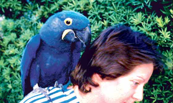 A hyacinth macaw on its owner's shoulders