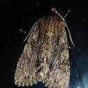 Confused Woodgrain Moth