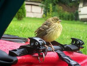 Photo: 8e Dag, donderdag 23 juli 2009 Erpfingen - Obersiggingen Aankomst: ca 16 uur Dag afstand: 98,2 km. Totaal gereden: 763 km. Op de camping in Erpfingen kreeg ik bij de tent bezoek van een jonge vogel.