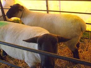 Photo: Suffolk schaap.