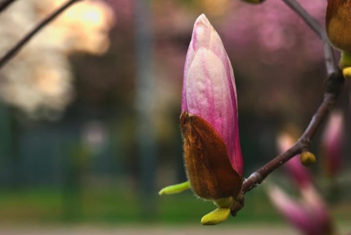 Bocciolo di magnolia giapponese di Rossella13