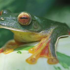 Gliding frog by Madhu Soodanan - Animals Other