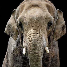 by Bruce Newman - Animals Other Mammals ( black background, nature, elephant, portrait,  )