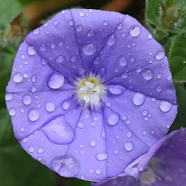 Water droplets by Zhenya Philip - Flowers Single Flower ( macro, nature, photography )