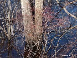 Photo: Reddening blueberry stems