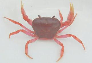 Photo: Freshwater Crab migrating to land in humid conditions.