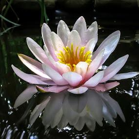 Nymphaea 'Marliacea Rosea' by Marina Denisenko - Flowers Single Flower ( water lilies, waterlily, lily, lotus, nymphaea, water lily, flower )