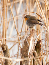 Photo: European Robin (Rotkehlchen), Wedel, DE
