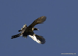 Photo: Black-throated Magpie-Jay coming in for a landing at Singayta