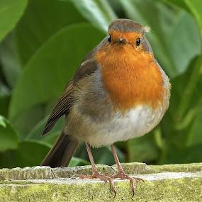 Robin by Martin Brown - Animals Birds ( robin, nature, lumix, birds, garden,  )
