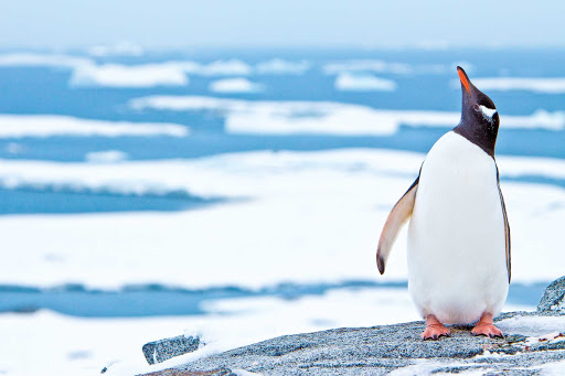 A gentoo penguin looks skyward while standing on an iceberg during a Lindblad expedition in Antarctica.