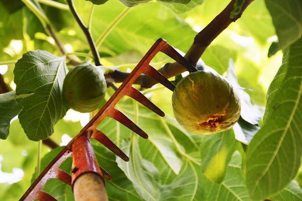 Frutta antica. di MF