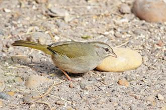 Photo: Olive Sparrow