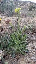 Photo: Endemismos: Diplotaxis harra subsp. lagascana