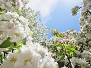 Photo: Tons and tons of apple blossoms at Cox Arboretum and Gardens Metropark in Dayton, Ohio.