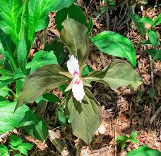 Photo: Painted Trillium