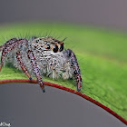 Heavy Jumping Spider