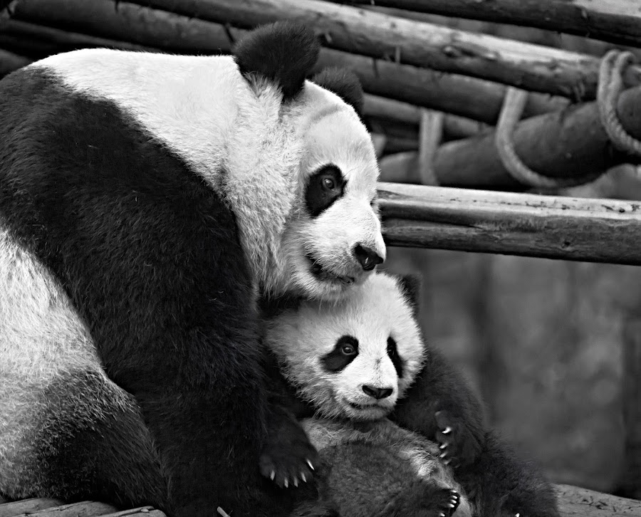Mother panda cuddling her cub by Janette Anderson - Animals Other Mammals (  )