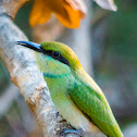 Little green bee-eater (chick)