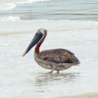Galápagos Brown Pelican
