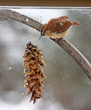 Photo: Our resident Carolina wren, a small bird with a big personality, tackles the peanut butter slathered pine cone that I hung out for blizzard relief.