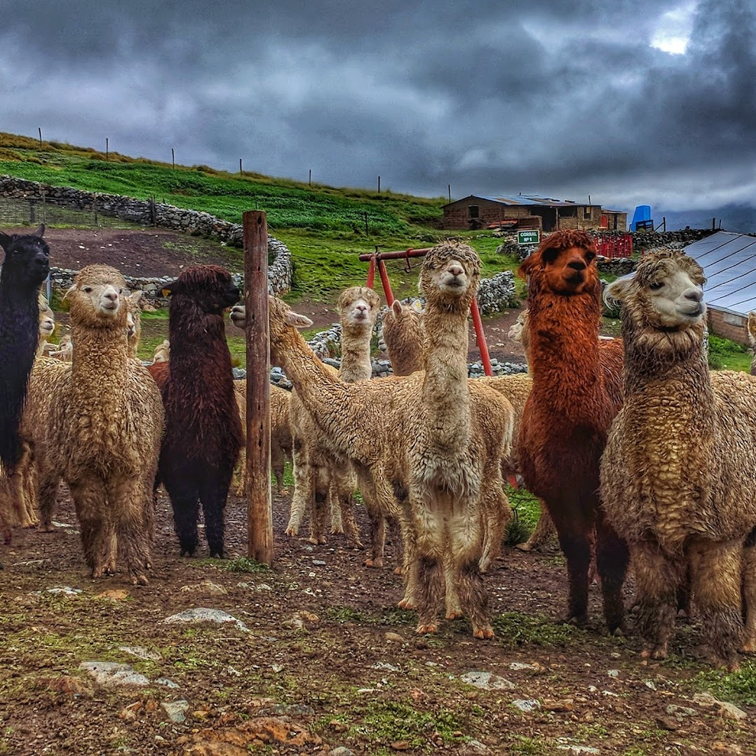 Alpacas rest near Minsur's San Rafael tin mine.