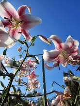 Photo: White and pink lilies under a bright blue sky at Wegerzyn Gardens in Dayton, Ohio.