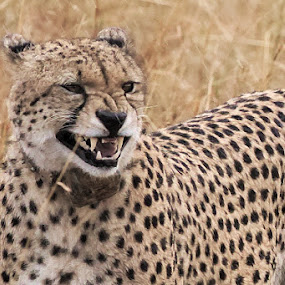 The gnarl of a Cheetah by Shreyas Kumar - Animals Lions, Tigers & Big Cats ( cheetah, gnarl, angry, masaimara, portrait,  )
