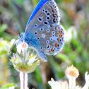 Adonis blue; Niña celeste