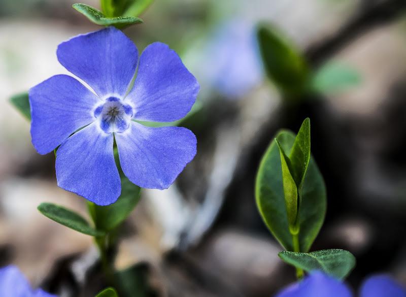 Pervinca il primo fiore di primavera di arturoaiello