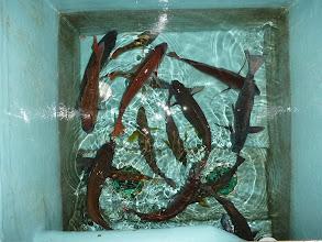 Photo: 真鯛、オナガ、クチブト、イサキ、フエフキ・・・
