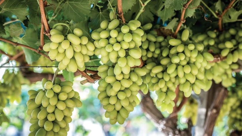 Uva blanca de la variedad que se cultiva en la finca El Bellicar de Berja.
