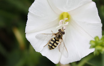 Photo: Eupeodes sp.  ?????  Diptera  > Syrphidae