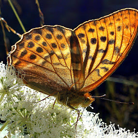 Argynnis paphia by Keld Helbig Hansen - Animals Insects & Spiders