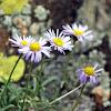 Large Flower Fleabane