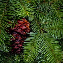 Wreath by Mark Ritter - Public Holidays Christmas ( macro, needles, wreath, cone, pine, evergreen )