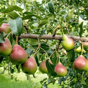 multiple pears (1 of 1).jpg