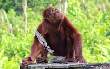 Photo: Orangutan in Balikpapan, East Borneo, Indonesia