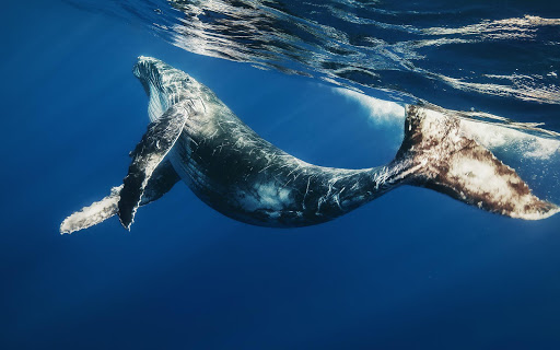 Whale Live Wallpaper Animal