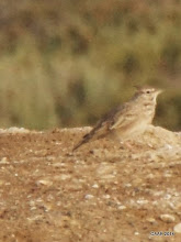 Photo: Crested Lark