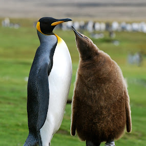 King Penguin and Baby by Janet Rose - Animals Birds ( king penguin baby falkland islands, sea creatures, underwater life, ocean life,  )