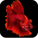 Betta Fish Wallpapers 4K icon