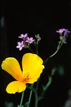 Photo: Mexican Poppy