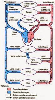 http://4.bp.blogspot.com/-d3Sa-mumR_k/VWabVgnb3TI/AAAAAAAAABw/t8XrdTMJo4I/s320/sistem-peredaran-darah-besar-kecil.jpg