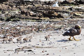Photo: Falklands Pintail