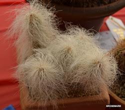 Photo: Echinocereus delaetii 1st place