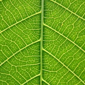 Green Veins of Life by Niranjan Rajendran - Nature Up Close Leaves & Grasses ( macro, life, nature, green, leaf, veins )