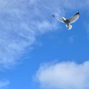 Circling Herring Gull by E P - Novices Only Wildlife ( bird, flight, gull, sky, herring gull )
