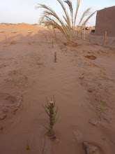 Photo: Tamarisk grafts planted, in the traditional way, sprout after 2 months! They receive recycled water from the bivouac.